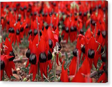 Sturt's Desert Pea Outback South Australia Canvas Print by Carole-Anne Fooks