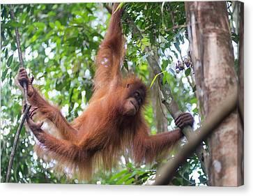 Sumatran Orangutan Canvas Print by Scubazoo