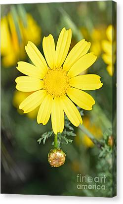 Daisy Canvas Print by George Atsametakis