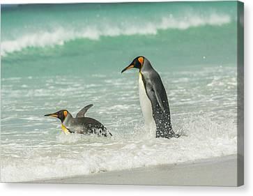 Falkland Islands, East Falkland Canvas Print by Jaynes Gallery