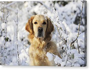 Golden Retriever In Snow Canvas Print by John Daniels