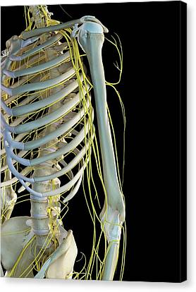 Human Nervous System Canvas Print by Sciepro