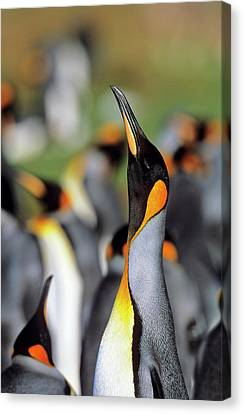 King Penguin (aptenodytes Patagonica Canvas Print by Martin Zwick
