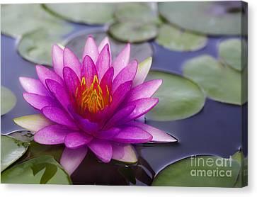 Pink Lotus Canvas Print by Anek Suwannaphoom