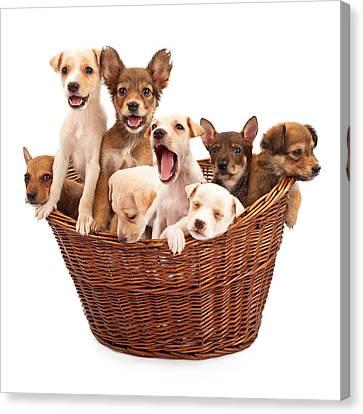 A Basket Of Puppies  Canvas Print by Susan  Schmitz