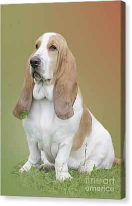 A Basset Hound Portrait Canvas Print by Linsey Williams