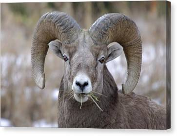 A Big Ram Caught With His Mouth Full Canvas Print by Jeff Swan