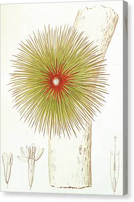 A Bromelia Found In The Andes Canvas Print by French School