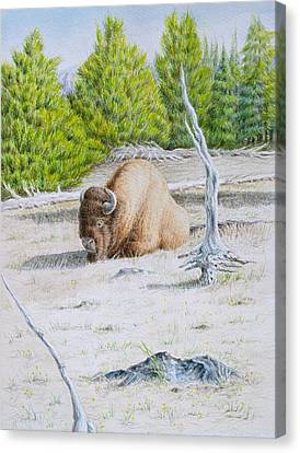 A Buffalo Sits In Yellowstone Canvas Print by Michele Myers