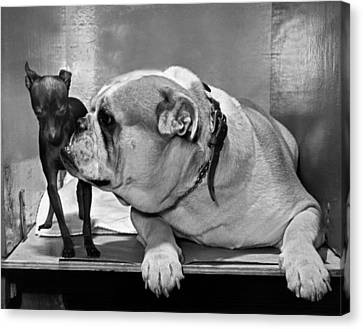 A Bulldog And A Puppy Canvas Print by Underwood Archives