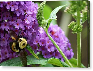 A Bumblebee In The Garden Canvas Print by Kim Pate