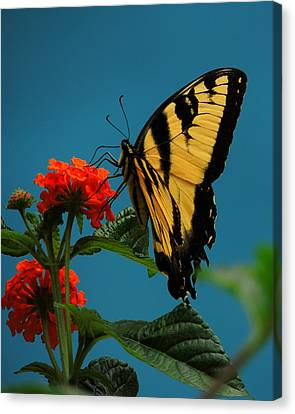 A Butterfly Canvas Print by Raymond Salani III