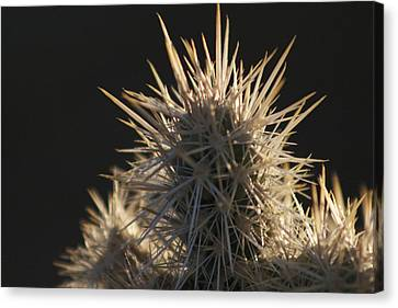 A Cholla Cactus I Canvas Print by Carolina Liechtenstein
