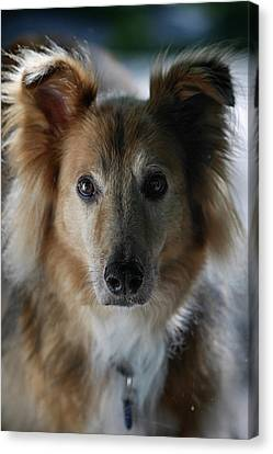 A Collie And Golden Retriever Mix Dog Canvas Print by Al Petteway & Amy White