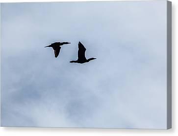 A Couple Of Cormorants Canvas Print by Karol Livote