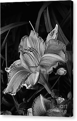 A Daylily Bloom In Original Black And White Canvas Print by ImagesAsArt Photos And Graphics