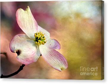 A Dogwood Bloom Canvas Print by Darren Fisher