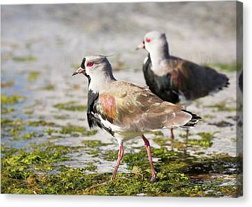 A Flock Of Southern Lapwings Canvas Print by Ashley Cooper