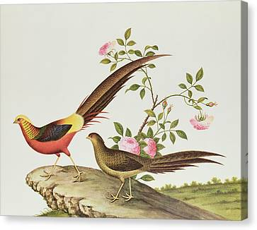 A Golden Pheasant Canvas Print by Chinese School