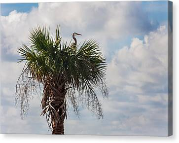 A Great Blue Heron Nests On A Cabbage Palmetto Canvas Print by Karen Stephenson
