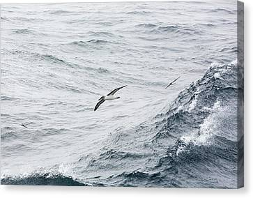 A Grey Headed Albatross Canvas Print by Ashley Cooper