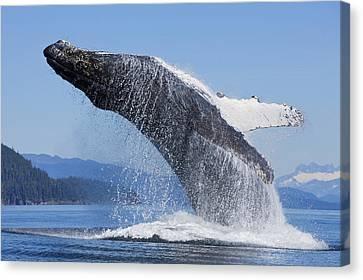 A Humpback Whale Breaches Canvas Print by John Hyde