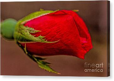 A Knockout Bloom Canvas Print by Dave Bosse