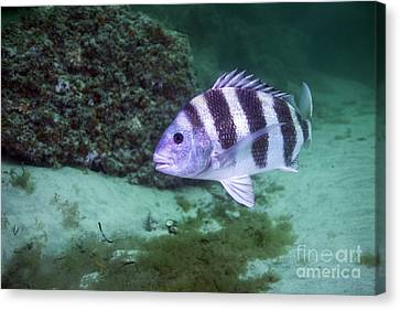 A Large Sheepshead Ruising The Bottom Canvas Print by Michael Wood