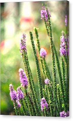 A Lavender Garden Canvas Print by Chastity Hoff