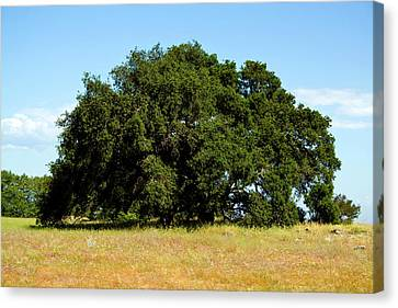 A Lone Tree Canvas Print by Terry Thomas