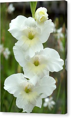 A Lovely White With A Hint Of Yellow Gladiolus Canvas Print by Kim Pate
