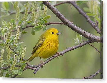 A Male Yellow Warbler Perched Canvas Print by Milo Burcham