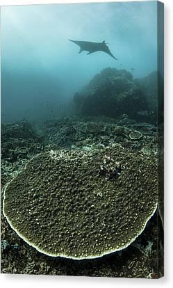 A Manta Ray Swimming Canvas Print by Ethan Daniels