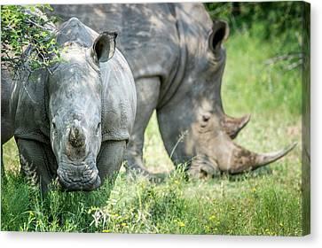 A Pair Of Rhinoceros  Rhinocerotidae Canvas Print by Remsberg Inc