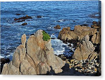A Plant Grows On Ancient Seaside Rocks Canvas Print by Susan Wiedmann
