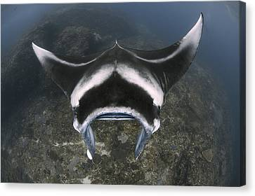 A Reef Manta Ray Swimming Above A Reef Canvas Print by Steve Jones