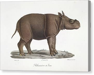A Rhinoceros Of Java Canvas Print by British Library
