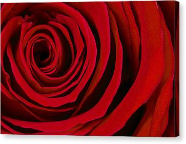 A Rose For Valentine's Day Canvas Print by Adam Romanowicz