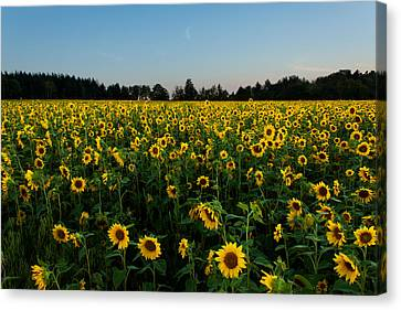 A Sea Of Green And Yellow Canvas Print by Matt Dobson