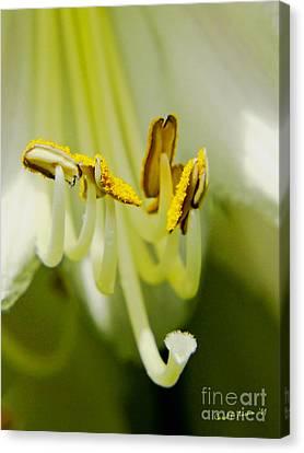 A Single Flower In Full Bloom Canvas Print by Carol F Austin