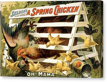 A Spring Chicken Canvas Print by Aged Pixel