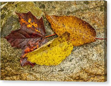 A Trio Of Leaves Canvas Print by Karol Livote