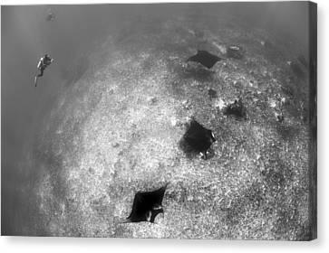 A Trio Of Reef Manta Rays Swimming Canvas Print by Steve Jones