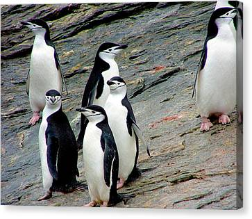 A Waddle (group) Of Chinstrap Penguins Canvas Print by Miva Stock