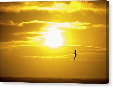 A Wandering Albatross Canvas Print by Ashley Cooper