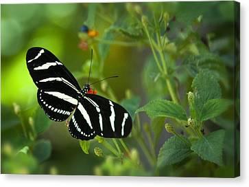 A Zebra Longwing Butterfly  Canvas Print by Saija  Lehtonen