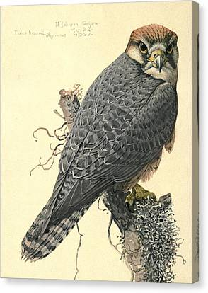 Abyssinian Lanner Canvas Print by Rob Dreyer AFC