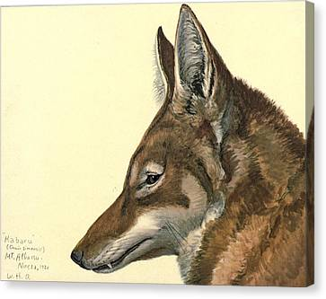 Abyssinian Wolf Canvas Print by Louis Agassiz Fuertes