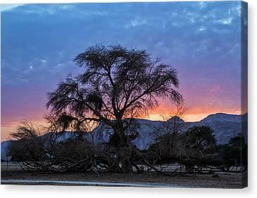 Acacia At Sunset Canvas Print by Photostock-israel