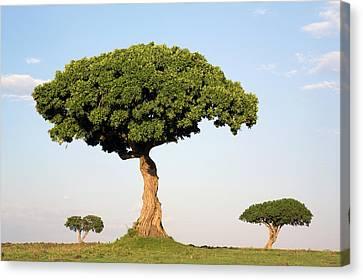 Acacia Trees Masai Mara Kenya Canvas Print by Ingo Arndt